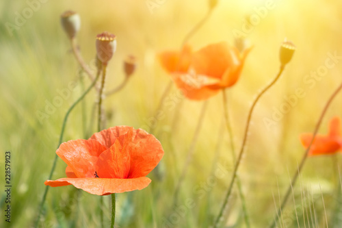 Beautiful bright red poppies in the sun on background of green grass and leaves. Close up of red poppy flowers in field On the Sunrise. Beautiful flowers in the sun rays.