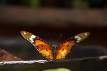 Tiger Butterfly Sitting On The Sand Pot In Natural Light