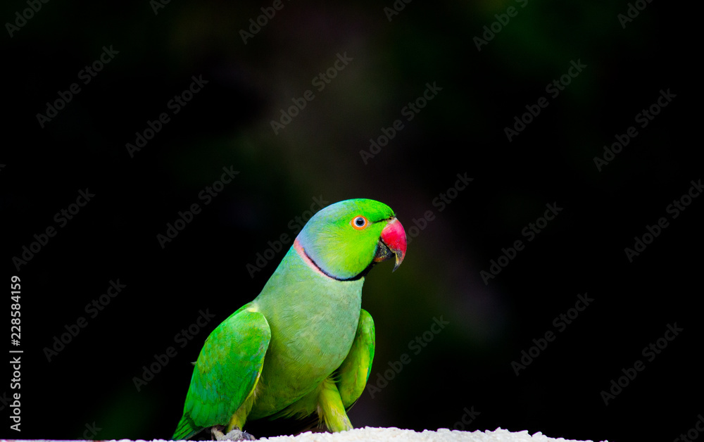 The rose-ringed parakeet, also known as the ring-necked parakeet, is a gregarious tropical Afro-Asian parakeet species that has an extremely large range. The rose-ringed parakeet is sexually dimorphic