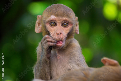 In de dag Rhesus macaques are Asian, old monkeys. Their natural range includes Afghanistan, Pakistan, India, Southeast Asia, and China. A few troops of introduced rhesus macaques now live wild in Florida.