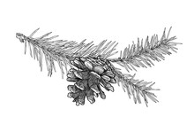 Hand Drawn Fir Tree Branch With Cone Isolated On White Background.