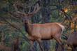Bull Elk in the Woods