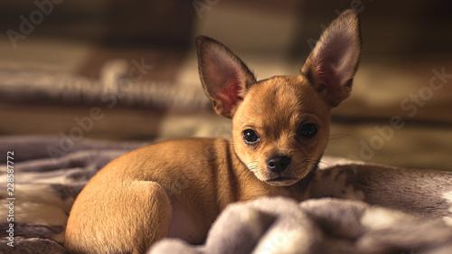 Fotografie, Obraz portrait of a chihuahua