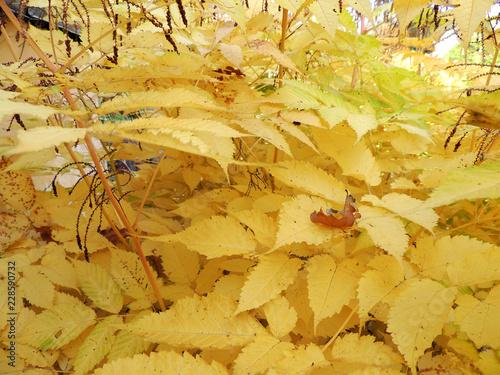 Fotografía  Aruncus dioicus in the fall