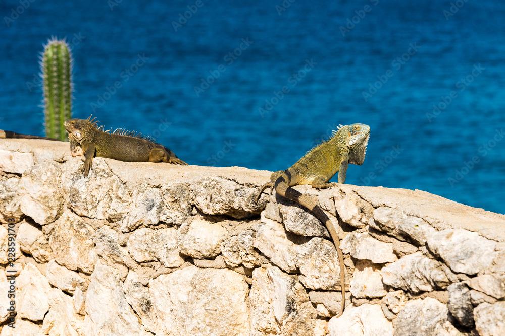 Iguana basks in the sun in Playa Lagun, Curacao, Netherlands. With selective focus.