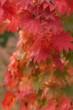 czerwone liście klonu