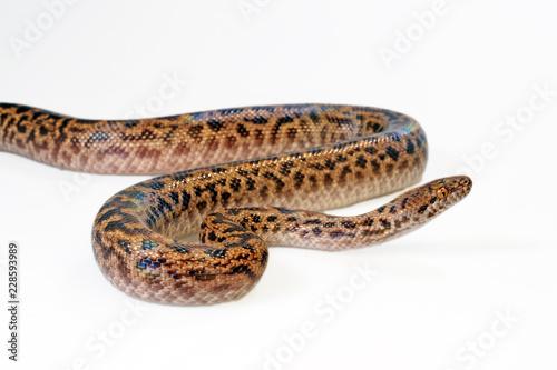 Fleckenpython (Antaresia maculosa) - Spotted python