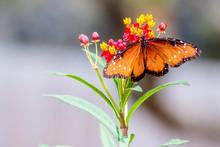 Queen Butterfly On A Flower