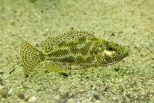 Leopard Cichlid (Nimbochromis Polystigma).
