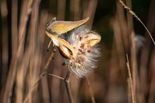 Milkweed Seeds In Wind