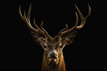 Red Deer Portrait With Black B...