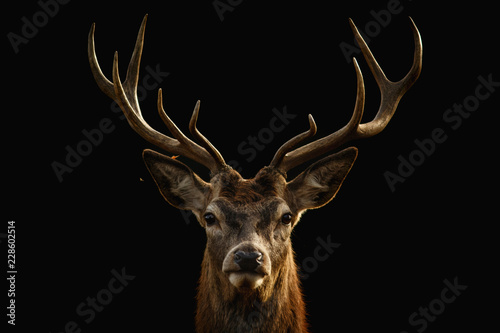 Foto op Canvas Hert Red deer portrait with black background..