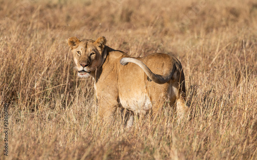 Full body portrait of female lion turning to look at viewer in natural tall grass landscape in Africa