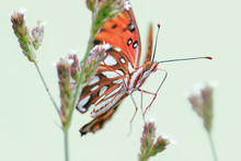The Gulf Fritillary Or Passion...