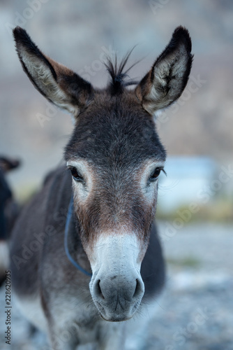 Donkey on natural environment, close up.