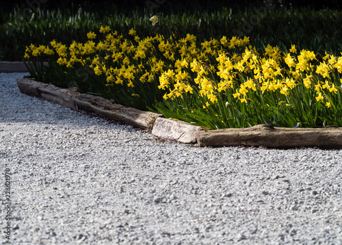 Daffodils growing on a garden bed in springtime