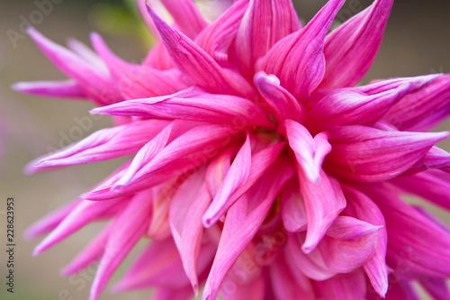 Poster de jardin Dahlia flores