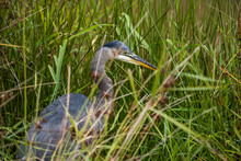 One Great Blue Heron Fishing Behind Tall Grasses Near The Pond