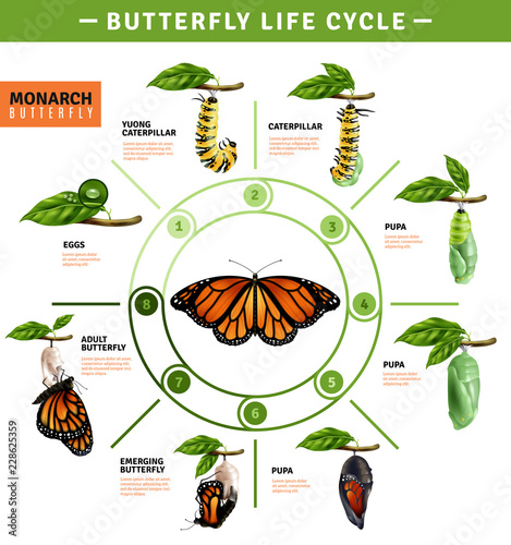 Fotografie, Obraz  Butterfly Life Cycle Infographics
