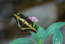 Yellow Butterfly Draws Nectar From Purple Flowers