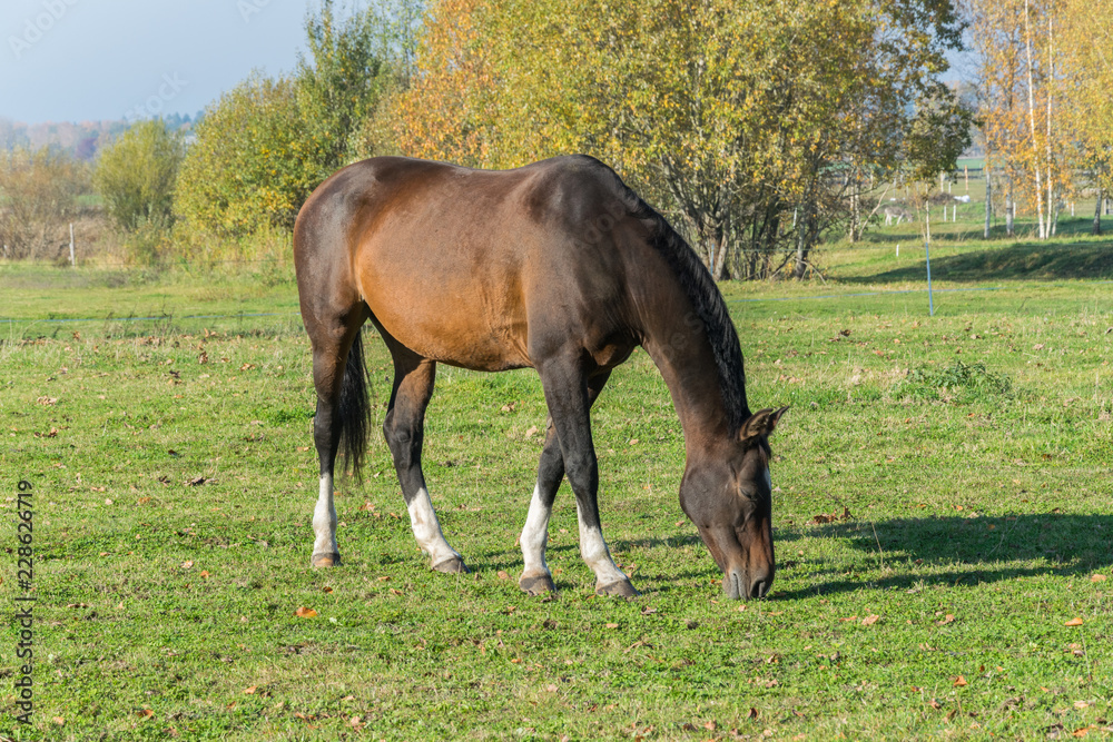 Valokuva One horse grazing in the meadow. One beautiful bay horse.