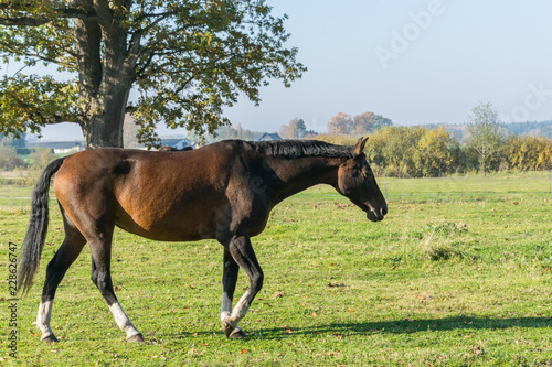 One bay horse walking on green grass. Side view. Canvas-taulu