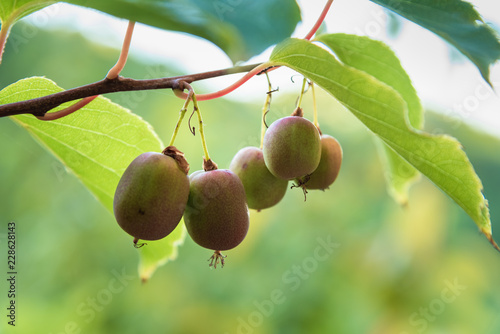 actinidia arguta at its point of maturation Canvas Print