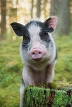 Portrait Of Mini Pig In The Fo...