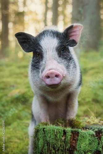 Portrait of mini pig in the forest