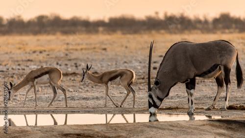 Chacun son tour, après les springbok, l'oryx