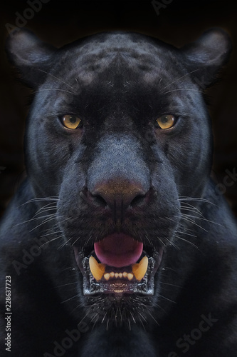 Photo Stands Panther Black panther shot close up with black background