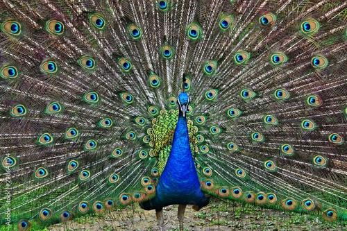 Keuken foto achterwand Pauw Peacock