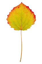 Aspen Colored Leaf On Isolated