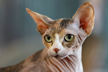 Sphynx Cat Close Up Portrait