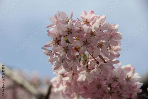 春の風景/満開のシダレザクラ(宮城県)