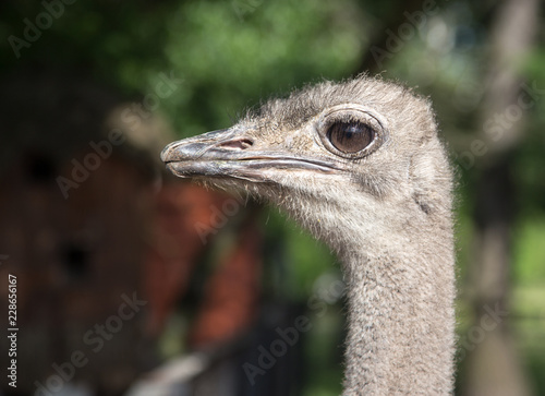 Ostrich in a zoo
