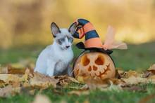Little Kitten With A Halloween Pumpkin