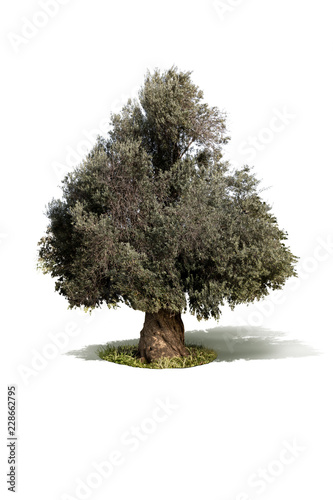 Keuken foto achterwand Olijfboom Isolated olive tree on a white background.