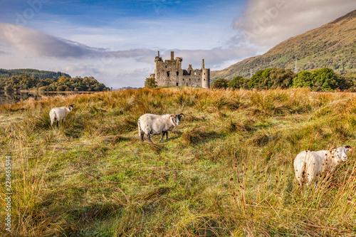 Scottish Blackface Rams at Kilchurn Castle, Argyll and Bute, Scotland Wallpaper Mural