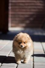 Pomeranian Puppy Decorative Do...