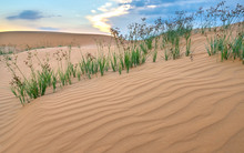 The Sunset On The Sand Hill With The Vitality Of The Grass Bushes Stretches Out To Survive In The Wilderness As The Miracle Of Life In The Natural World.