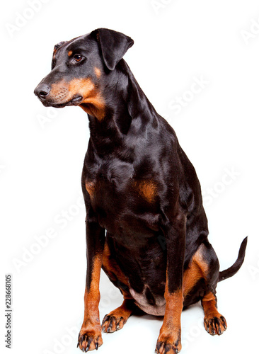 Canvas Print Black sitting dobermann bitch, isolated against a white background