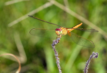 Close Up Of Scarlet Skimmer On Flower