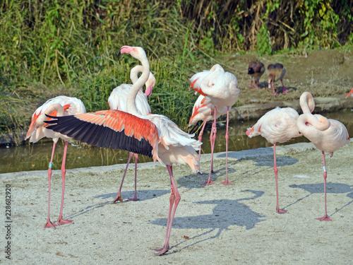 gruppo di fenicotteri rosa Canvas Print