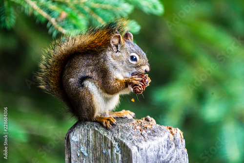 Red squirrel, Sciurus vulgaris, sitting on a tree trunk eating a nut