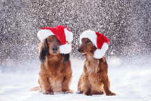 Two Adorable Dachshund Dogs In...