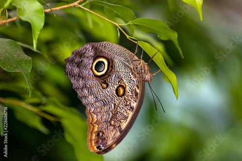 Fotografie, Obraz  Papillon Morpho, Caligo martia,sur une feuille