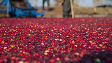 To Gather Cranberries From A Bog On The Background Of Working Farmers