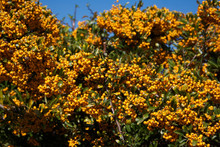 Pyracantha Hedge With Beautiful Ripe Yellow Berries In Autumn Against Blue Sky.