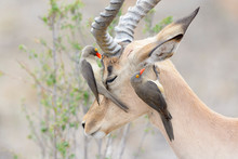 Red-billed Oxpecker (Buphagus ...